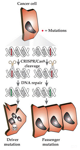 Illustration of targeting cancer mutations utilizing the CRISPR/Cas9 system.