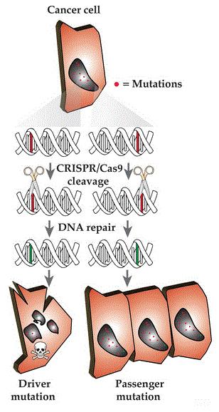 Illustration of targeting cancer mutations utilizing the CRISPR/Cas9 system.